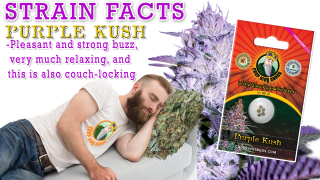 Purple Kush Feminized Marijuana Seeds Strain Facts Crop King Seeds