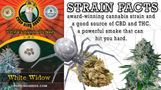 White Widow Feminized Marijuana Seeds Strain Facts Crop King Seeds