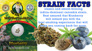 Blueberry Regular Marijuana Seeds Strain Facts Crop king Seeds