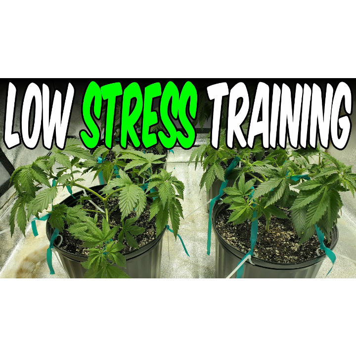 OG Kush from Seed Indoor Grow Ep. 2 Low Stress Training Lollipop-ping