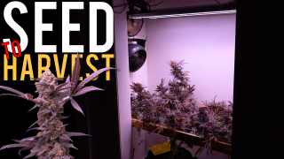 GROWING ORGANIC CANNABIS FROM SEED TO HARVEST | STRAIN GRAPE ROCK CANDY x BANANA BUTTER CUPS