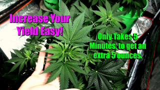 How To Low Stress Training Marijuana Part 2: Two Weeks Later