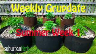 suBurBan heRb's weekly cannabis grow update. First week outdoors for diesel, g-13's and autoflowers