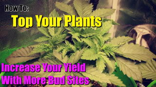 Topping Marijuana For Increased Yields and Fine Tuning The Mars Hydro TS1000