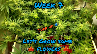 Week 7 Sunday Driver, Blue Glue, Sour Ghost OG, and Gorilla Glue #4 in a EZHYDROGROW kit running a Mars Hydro TSW2000 LED grow light with CO2 enhancer from TNB Naturals!