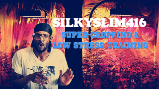 Super Cropping & Low Stress Training ( L.S.T.) IN YOUR GARDEN - WEEKLY GROW UPDATE WITH SILKYSLIM416