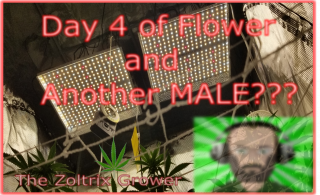 Day 4 of Flower | Another Male??? | Growing with Mars Hydro | TWTGC