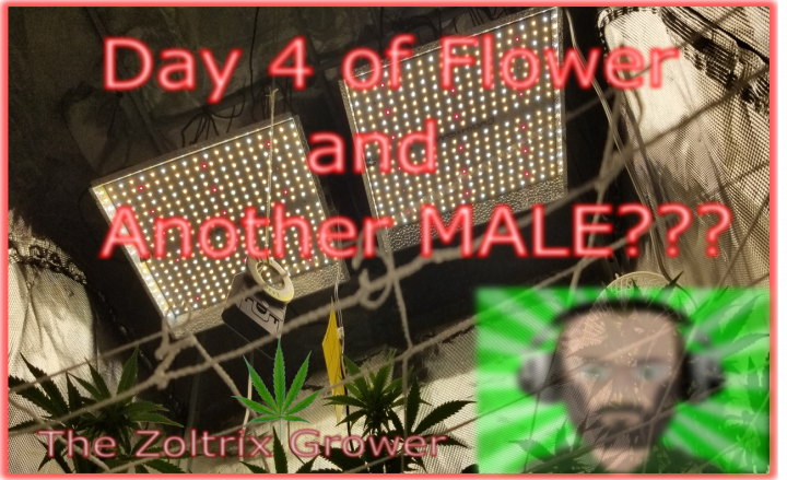 Day 4 of Flower   Another Male???   Growing with Mars Hydro   TWTGC