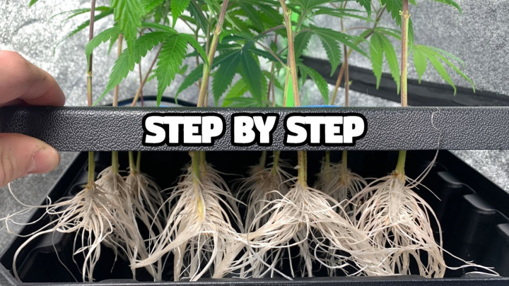 15 Clones Rooted in 7 Days - Complete Guide