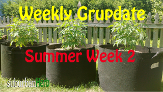 suBurBan heRb's weekly cannabis grow update. Second week outdoors for diesel, g-13's and autoflowers
