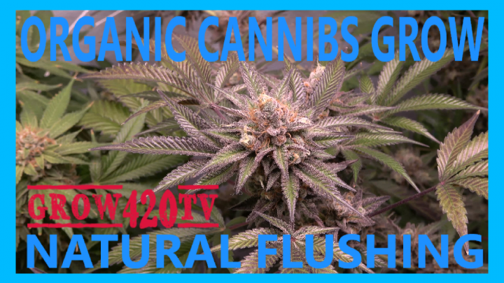 Organic Cannabis Grow!!! Natural Flushing!!!