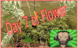 Day 7 of Flower | Buds Stacking Up | Mars Hydro Grow | TWTGC