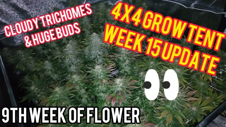 Week 15: 4x4 Cannabis Grow Tent - Final Week Before Harvest