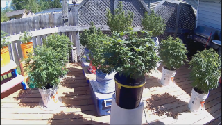 Race to Flower Cannabis Plants