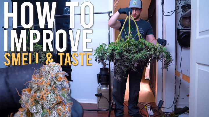 HOW I HARVEST & SLOW DRY ( FOR BEST TASTE & SMELL ) STRAIN GRAPE ROCK CANDY x BANANA BUTTER CUPS
