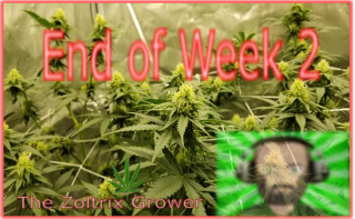 The End of Week 2 | LST for the Bigger Yields | Growing with Mars Hydro | TWTGC
