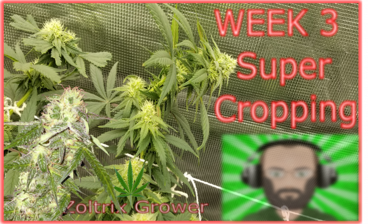 A Bending We Shall Go | Week 3 of Flower | Growing Under Mars Hydro | TWTGC