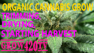 Organic Cannabis Grow!!! Trimming, Drying!!! Starting Harvest!!!
