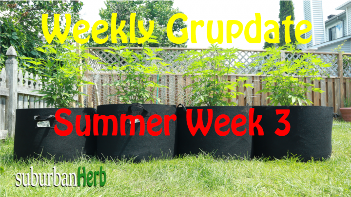 suBurBan heRb's weekly cannabis grow update. Third week outdoors for diesel, g-13's and autoflowers