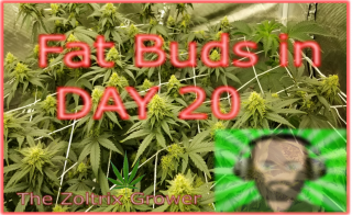 Day 20 Flower | Fat Buds! | Growing Under Mars Hydro | TWTGC