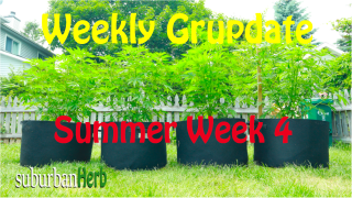 suBurBan heRb's weekly cannabis grow update. Fourth week outdoors for diesel, g-13's and autoflowers