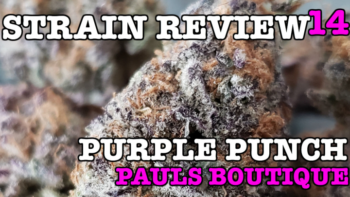 PURPLE PUNCH STRAIN REVIEW 14 [ GROWERS ONLY CO ]