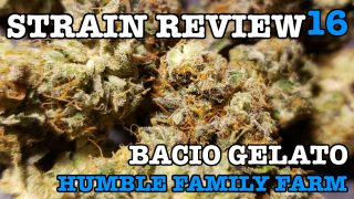 BACIO GELATO STRAIN REVIEW 16 [ GROWERS ONLY CO ]