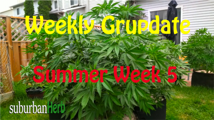 suBurBan heRb's weekly cannabis grow update. 5th week outdoors for diesel, g-13's and autoflowers
