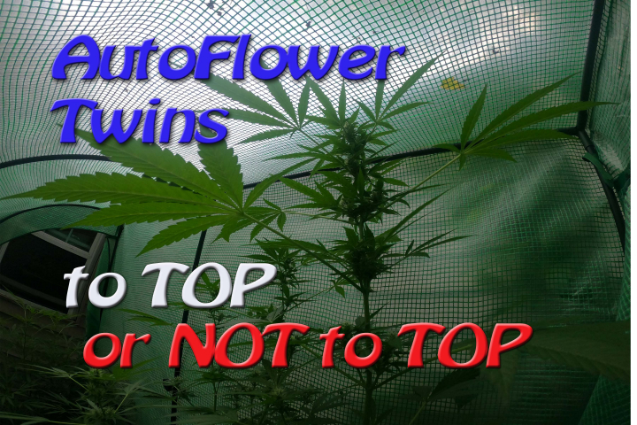 AutoFlower Twins: TO TOP or NOT TO TOP