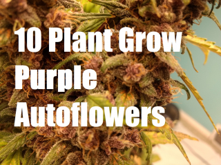 Growing 10 Purple Cannabis AutoFlowers. Seed to Harvest, With Results!