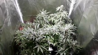 1° cultivo indoor - Lindas flores Auto Northern lights, Cheese, NYC Diesel/ 7° semana (50 dias) #8