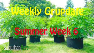 suBurBan heRb's weekly cannabis grow update. 6th week outdoors for diesel, g-13's and autoflowers