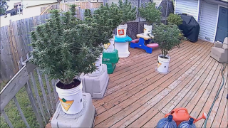 Flowering Cannabis Plants Outdoors