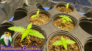 Mars Hydro TS1000, Crop King Seeds Platinum cookies, TNB Naturals, AC INFINITY GROW