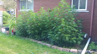 Outdoor Grow Update 3 GG4. July 27, 2020