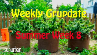 suBurBan heRb's weekly cannabis grow update. 8th week outdoors for diesel, g-13's and autoflowers