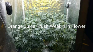 4x4 Grow Tent Update Orange Juice Krush Day 25 in Flower. July 30, 2020
