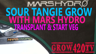 Sour Tangie Grow with Mars Hydro - Transplant & Starting Vegetation