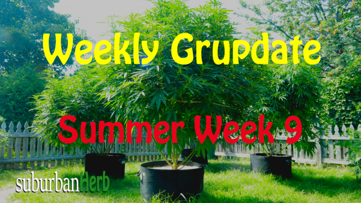 suBurBan heRb's weekly cannabis grow update. 9th week outdoors for diesel, g-13's and autoflowers