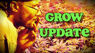 Pink Kush & Blue Cheese Grow Update