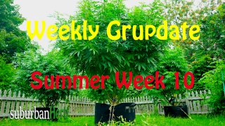 suBurBan heRb's weekly cannabis grow update. 10th week outdoors for diesel, g-13's and autoflowers