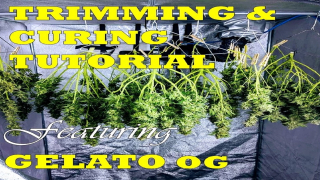 HOW TO GROW WEED FOR BEGINNERS: TRIMMING AND CURING TUTORIAL