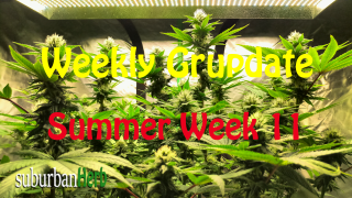 suBurBan heRb's weekly cannabis grow update. 11th week outdoors for diesel, g-13's and autoflowers