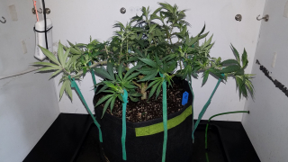 Northern Lights Organic Grow with Mars Hydro TSW 2000 - More Training & Feeding Discussion
