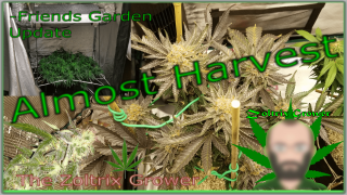 Day 62 | Almost Harvest | Friends Garden Update | TWTGC