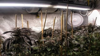 Cannabis Indoor Grow From Veg to Flowering Cultivation | Mars Hydro SP 3000 LED Grow Light