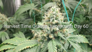 HARVEST TIME 4 ORANGE JUICE KRUSH DAY 60. September 3, 2020