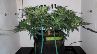 Northern Lights Organic Grow with Mars Hydro TSW 2000 - Pre-Flower Top Dressing & Continued Training with SCROG Net