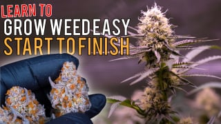 GROW WEED EASY FROM SEED TO HARVEST IN