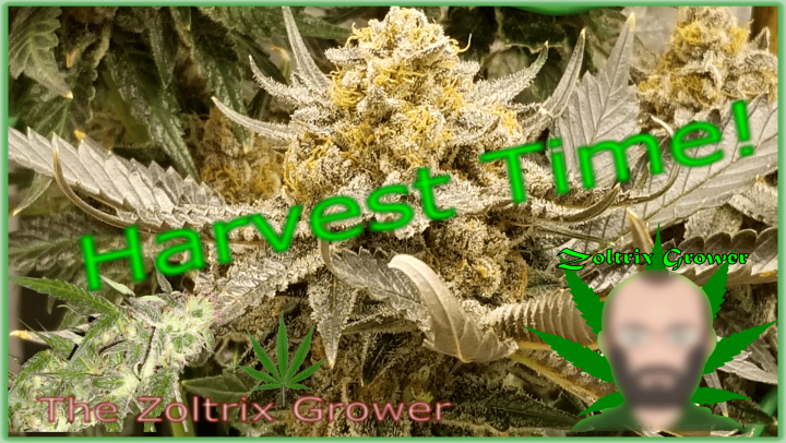 Harvest Time! | Keeping the Perpetual Grow Running | Grown Under Mars Hydro | TWTGC